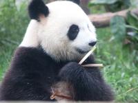 Day 70: A Panda feast. Chengdu to Leshan.